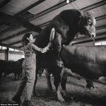 Специалист по сбору спермы быков. Одна из самых необычных женских профессий.