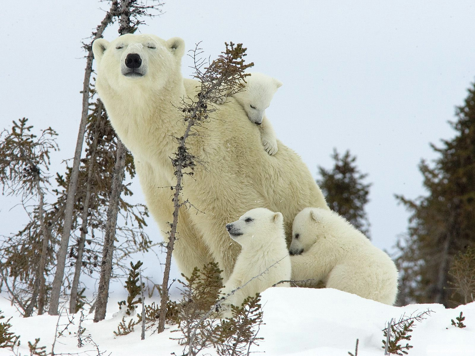 polar-bear-and-cubs-wapusk-national-park-manitoba-canada1